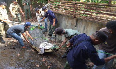 Evakuasi Buaya di Hotel Sari Kuring Indah