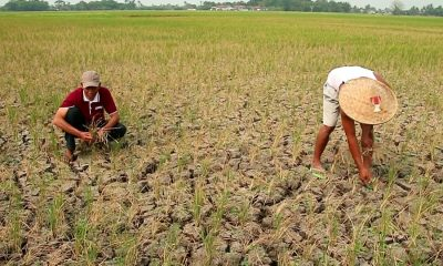 Puluhan Hektar Lahan Pertanian di Kresek Terancam Gagal Panen