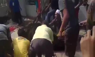 panitia kurban tampak kewalahan menumbangkan sapi sumbangan prabowo subianto