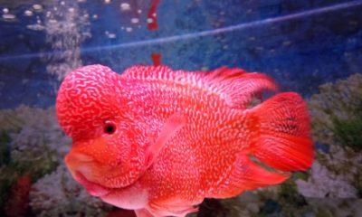 3.000 Ikan Hias Adu 'Cantik' di Nusantara Aquatic 2018