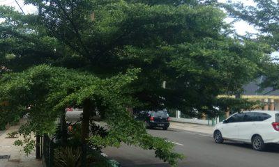 Pohon Ketapang di Taman Batik dikeluhkan