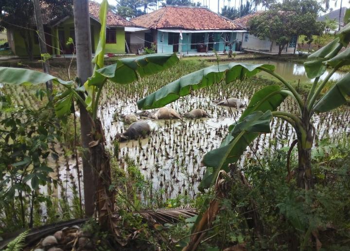 Lima Kerbau dan Satu Penggembala Tewas Tersengat Listrik di Cihara, PLN Beri Penjelasan